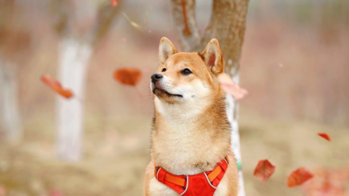 After 200% rally, Shiba Inu [SHIB] investors need to know this